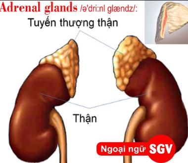 SGV, Adrenal glands