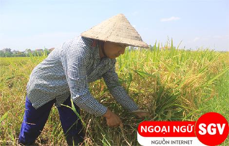 gặt lúa tiếng Trung là gì